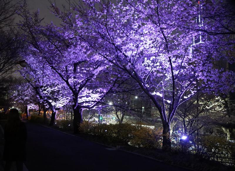 동대문구청 장안교외 벚꽃길2.jpg