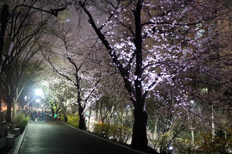 동대문구청 장안교외 벚꽃길4.jpg